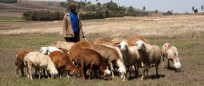Sheep a smallholder livelihood for Ethiopia's rural poor