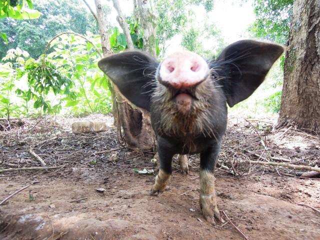 Uganda Pigs (2)