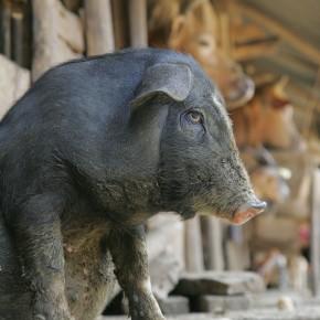 Pig production benefits rural livelihoods inVietnam