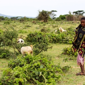 Animal health research to improve small ruminant productivity in Ethiopia