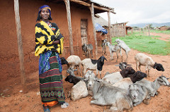 Understanding gender roles in small ruminant health management in Ethiopia